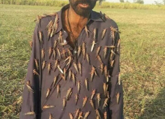 Farmers of Gujarat are Affected with the Spread of Locust Ravaging the Crops
