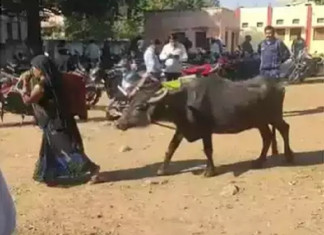 Unable to Pay Bribe to Tehsildar, MP Woman Reach with Buffalo to Tehsildar's Office