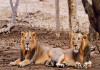 25 lions shifted from Sakkarbaug Zoo within the last two years