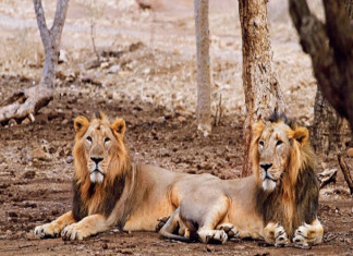 Gujarat high court seeks reply from the state over allotment of Gir Sanctuary land for gas pipeline