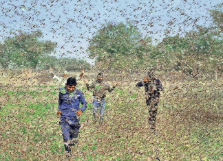 Rajasthan, UP, MP & Maharashtra fight swarms of locusts