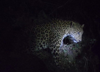 75-yr-old man killed in leopard attack in Dhari